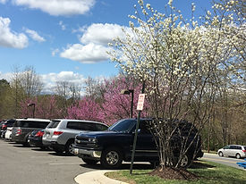Serviceberry and Redbuds (1).JPG