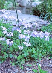 Phox divaricata (Woodland Phlox)