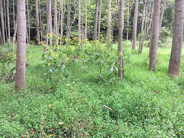 stilt grass and Verbisina alternifolia.J