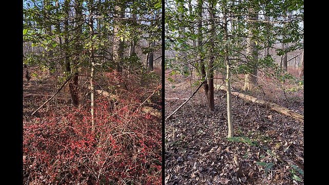 Japanese barberry before and after Sara