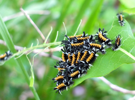 Tussock milkweed caterpillars