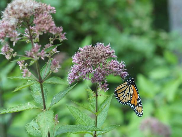 Monarch on Eupatorium dubium