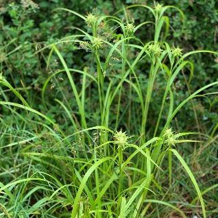 Carex%20grayi%20Jennifer%20Roberts_edite