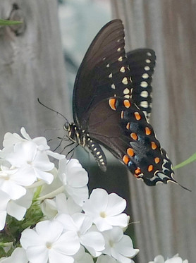 Phlox paniculata and spicebush butterfly