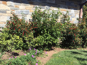 Spruce up your foundation plantings