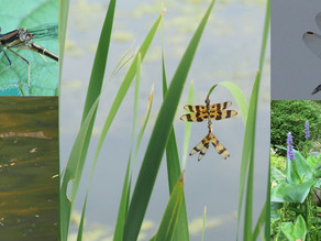 Bringing Dragonflies to Your Yard