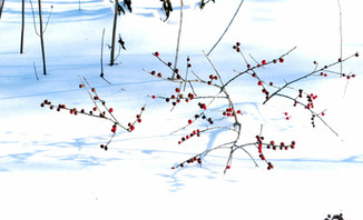 Ilex verticillata (Winterberry)