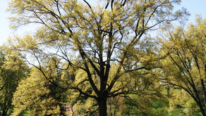 Arlington National Cemetery Treasures its Trees