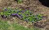 Common Violet (VIoloa sororia)
