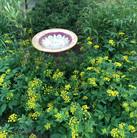 Golden Alexander (Zizia aurea)
