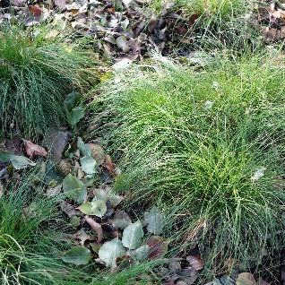 Carex%20appalachia%20brooklyn%20botanic%