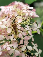 T. deceptus beetle on hydrangea arboresc