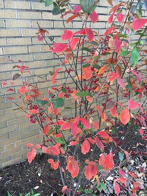 Aronia arbutifolia 2.JPG