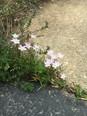 Spring Beauty (Claytonia virginica)i