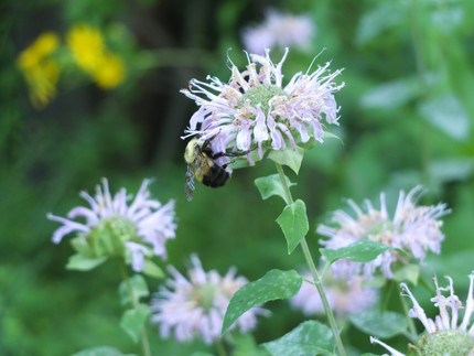 Monarda fistulosum (Beramot) and bee
