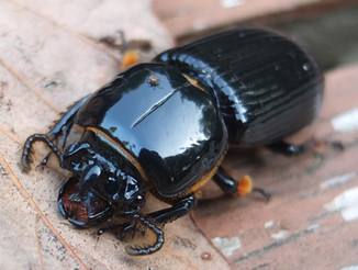 bess beetle (Horned Passalus) with mite