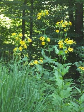 Silphium perfoliatum Cup Plant 2.jpg