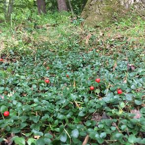 Mitchella repens (Partridge Berry)