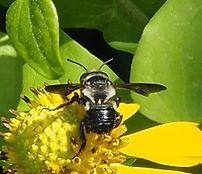Carpenter-mimic Leafcutter Bee.jpg
