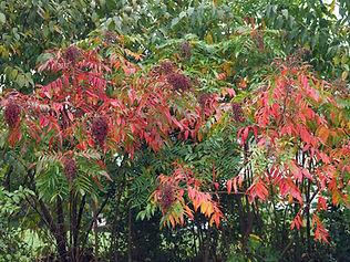 Rhus copallinum in the fall.jpg