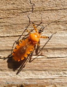 orange assassin bug.jpg