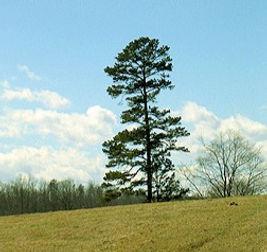 Pinus%20echinata%20Shortleaf%20pine_edit