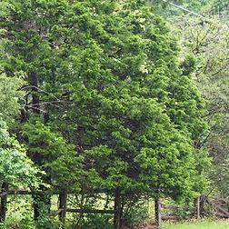 juniperus_virginiana.jpg