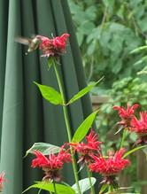 Hummingbird on Monarda didydma (Bee Balm)