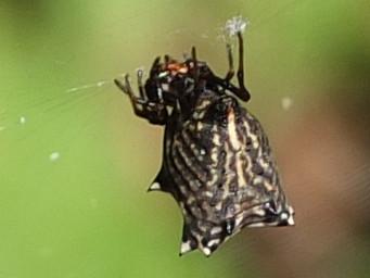 spined macrathena orbweaver spider.jpg