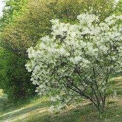 Chionanthus virginicus Fringe tree.jpg