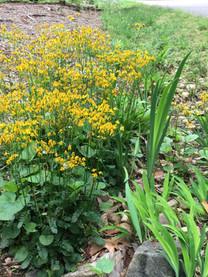 Common Ragwort - Packera aurea