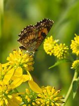 Wingstem (Verbesina alternifolia)