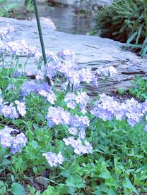 Woodland Phlox - Phlox divaricata