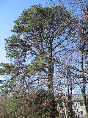 Pinus rigida Pitch pine.jpg