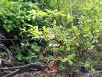 Lowbush Blueberry (Vaccinium pallidum)