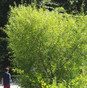Black Willow (Salix nigra)