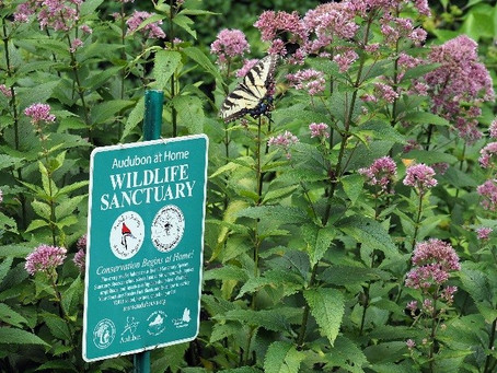 Accidental environmentalism: How yard-sign envy led to a butterfly and bee paradise