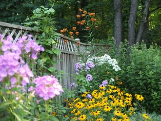 Garden phlox, black-eyed Susan, Turks ca