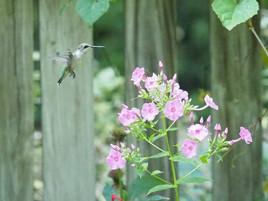 Phlox paniculata with hummingbird