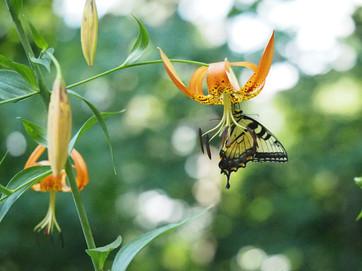Lilium superbum (Turks Cap Lily)