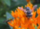 Two bees on Asclepias tuberosa.jpg