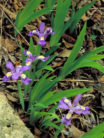Dwarf Crested Iris - Iris cristata