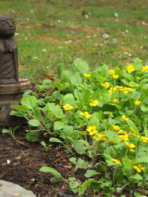 Green-and-Gold Chrysogonum virginiana