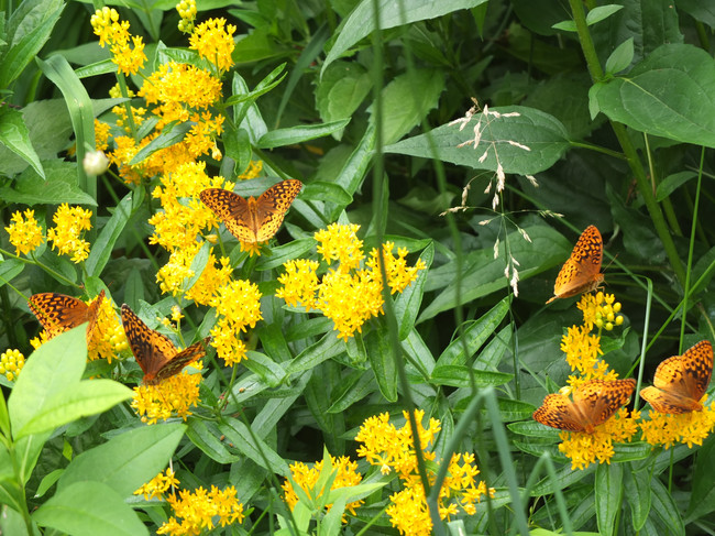Six fritillaries on butterfly weed