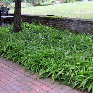 Carex%20plantaginea%20Plantain-leaved%20