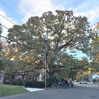 Quercus stellata post oak.jpg