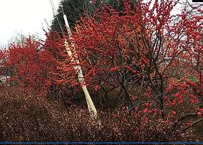 Winterberry Holly (Ilex verticillata).jp