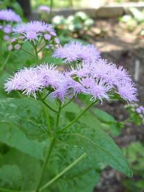 Blue Mistflower - Conoclinium coelestinu