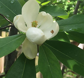 magnolia_virginiana_edited_edited.jpg