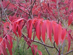 IMG_4446_Rhus_typhina_Leaves-3_Oct_ELM-1